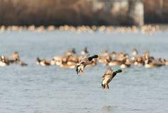 Bird, Water Bird, Water, Duck royalty free stock photos