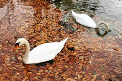 Bird, Water Bird, Water, Ducks Geese And Swans