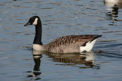 Bird, Water Bird, Water, Goose Stock Image