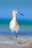Bird in the water, blue sea surface. Willet, Catoptrophorus semipalmatus, sea water bird in the nature habitat. Animal on the ocea Royalty Free Stock Photos