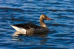 Bird, Water, Duck, Fauna Royalty Free Stock Photography