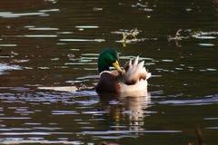 Bird, Water, Duck, Mallard Stock Photo