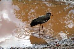 Bird, Water, Fauna, Reflection royalty free stock photo