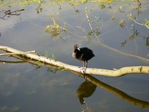 Bird, Water, Fauna, Reflection royalty free stock images