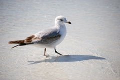 Bird in the Water Royalty Free Stock Photo
