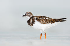 Bird in the water. Funny image of bird. Ruddy Turnstone, Arenaria interpres, in the water, with open bill, Florida, USA. Wildlife Stock Images