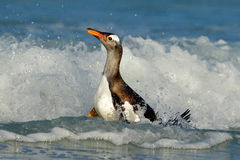 Bird in the water. Gentoo penguin jumps out of the blue water while swimming through the ocean in Falkland Island, bird in the nat Stock Image