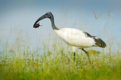 Bird in water grass with big insect in the bill. Wildlife scene from Okavango delta, Botswana. Sacred Ibis, Threskiornis aethiopic. Us, white bird with black Stock Image