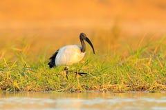Bird in water grass. Wildlife scene from Chobe, Botswana. Sacred Ibis, Threskiornis aethiopicus, white bird with black head. Ibis. Feeding food in the lake Stock Images