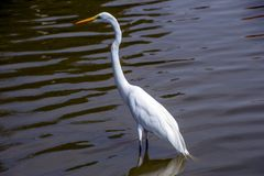 Bird, Water, Great Egret, Fauna Stock Images