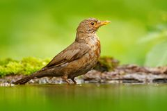 Bird in water. Grey brown song thrush Turdus philomelos, sitting in the water, nice lichen tree branch, bird in the nature habitat. Spring - nesting time Stock Images