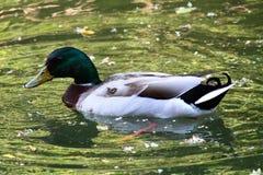 Bird. Water lake animal duck Stock Images