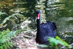 Bird. Water lake black animal natural Stock Image