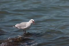 Crying seagull Royalty Free Stock Photography