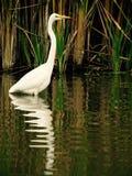 Bird, Water, Reflection, Fauna stock photo