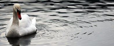 Bird, Water, Swan, Water Bird stock photos