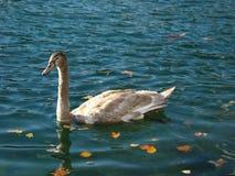 Bird, Water, Water Bird, Swan royalty free stock photos