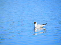 Bird on the water. A white bird floats in water. Blue water royalty free stock photography