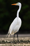 Bird in the water. White heron, Great Egret, Egretta alba, standing in the water in the march. Beach in Florida, USA. Water bird w. Bird in the water. White Stock Image