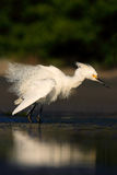 Bird in the water. White heron Snowy Egret, Egretta thula, standing on pebble beach in Florida, USA. Beautiful evening sun in the. Bird in the water. White heron Royalty Free Stock Photo