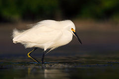 Bird in the water. White heron Snowy Egret, Egretta thula, standing on pebble beach in Florida, USA. Beautiful evening sun in the. Bird in the water. White heron Stock Photos