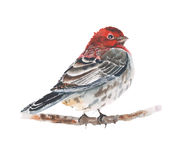 Bird watercolor painting sitting on the branch isolated on white background. Bird watercolor painting sitting on the branch isolated on white royalty free stock photos