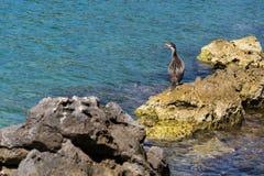 Bird on waterside of Kamenjak peninsula, Adriatic Sea, Premantura, Croatia. Bird on stony waterside of Kamenjak peninsula by the Adriatic Sea in Premantura royalty free stock image