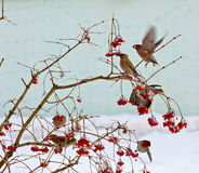 Bird waxwing Stock Images