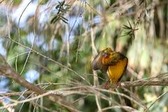 Bird weaver. Weaver bird sitting on branch preening Stock Photo