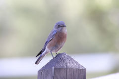 Bird - Western Bluebird Royalty Free Stock Photography