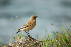 Bird. Wheatear (Oenanthe oenanthe) wintering in the marsh Royalty Free Stock Photos