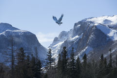 Bird wheeling above snow mountain range Stock Images