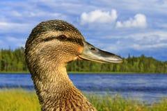 Bird on which hunting mallard   lake Royalty Free Stock Image