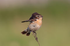 Bird is the whinchat on a branch Royalty Free Stock Photo