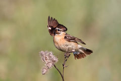 Bird is the whinchat in the meadow Royalty Free Stock Photos