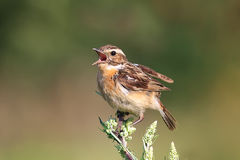 Bird is the whinchat in the meadow Stock Photos