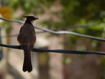 A beautiful Sparrow in India stock photography