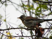 Bird whistle sitting on a branch. Birds feed on Rowan fruit in autumn.  Details and close-up. stock photo