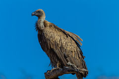 Bird White Backed Vulture Perched Stock Images