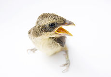 Bird on white background Stock Photography