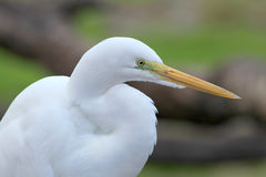 Bird. A white bird with a blued bacground Royalty Free Stock Image