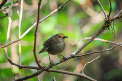 Bird(White-browed Shortwing ) White-browed Shortwing (females) in Doi Inthanon National Park. Thailand Stock Photo