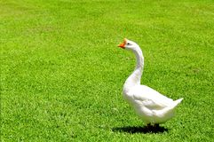 Bird, white Chinese goose, Florida Royalty Free Stock Photos