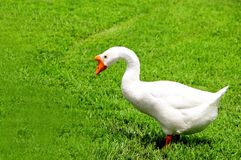 Bird, white Chinese goose Royalty Free Stock Photos