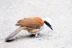 Bird white crested laughing thrush (Garrulax leucolophus) Royalty Free Stock Photo