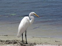 Bird - white egret. Photo of a white egret on the banks of a lake royalty free stock images