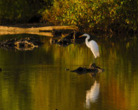 Bird White Heron or Great White Egret reflections Stock Images