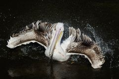 Bird white Pelican matter floating on the dark lake spraying water drops with feathers in the Park royalty free stock photo