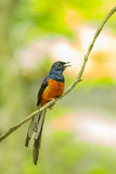 Bird White-Rumped Shama. (Copsychus malabaricus) in the nature Stock Image