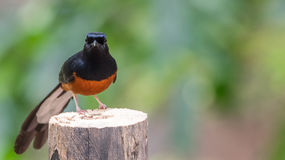 Bird (White-rumped shama) on a tree. Bird (White-rumped shama or Copsychus malabaricus) male are glossy black with a chestnut belly and white feathers on the Royalty Free Stock Image